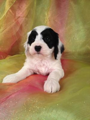 Male Black and White Cockapoo puppy looking for a new home in Iowa, Wisconsin, illinoios or Minnesota!