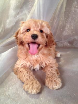 Female Red Cockapoo Puppy for Sale #1 Born November 28, 2013|Puppies Can fly for $200 into Fort Lauderdale FL, Boston MA, San Francisco CA, Charlotte NC, DC, Newark NJ, Portland ME, Manchester NH, Las Vagas NV and Many More!