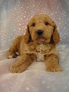 Male Cockapoo 36 for sale by an Iowa Breeder 2012  4