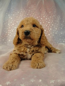 Male Cockapoo 36 for sale by an Iowa Breeder 2012  3