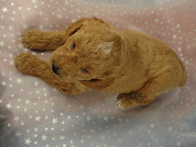 Male Cockapoo 36 for sale by an Iowa Breeder 2012  2