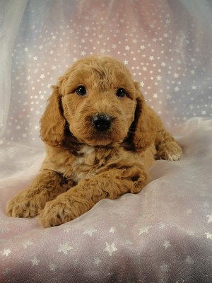 Male Cockapoo 36 for sale by an Iowa Breeder 2012
