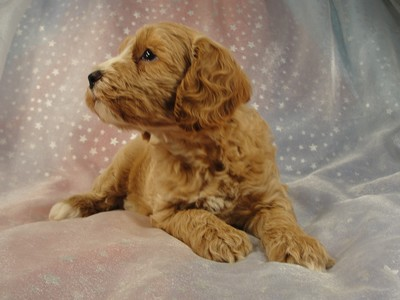 Male Cockapoo 37 puppy for sale in North Iowa 2012 3