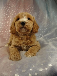 Male Cockapoo 37 puppy for sale in North Iowa 2012 4