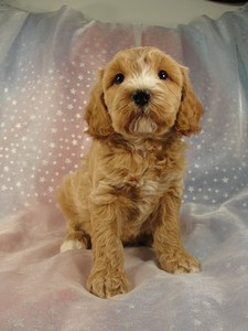 Male Cockapoo 37 puppy for sale in North Iowa 2012 5
