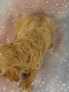 Male Cockapoo 37 puppy for sale in North Iowa 2012 6