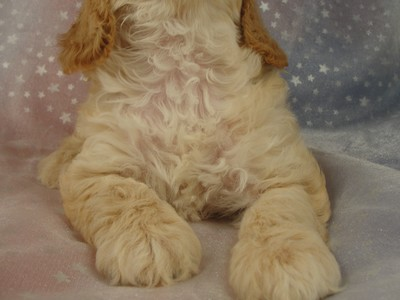 Female Cockapoo Puppy for sale 39 Iowa puppies 2