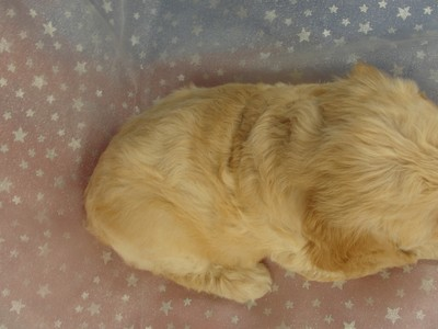 Female Cockapoo Puppy for sale 39 Iowa puppies 4