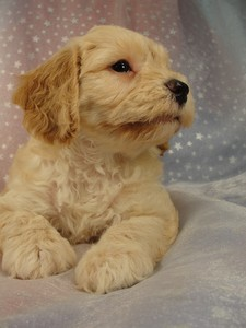 Female Cockapoo Puppy for sale 39 Iowa puppies 3