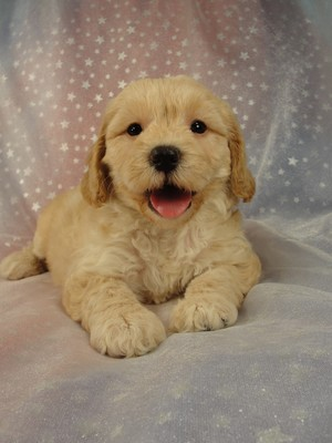 Female Cockapoo Puppy for sale 39 Iowa puppies