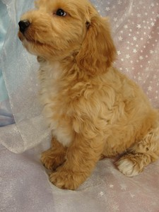 Male Poodle Bichon puppy 11 for sale 2