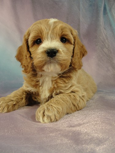 Male Cockapoo Puppy for sale #13 Born December 25, 2011