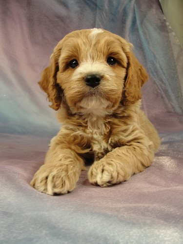 Male Cockapoo Puppy for sale #13 Born December 25, 2011 2