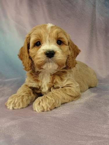 Male Cockapoo Puppy for sale #13 Born December 25, 2011 3