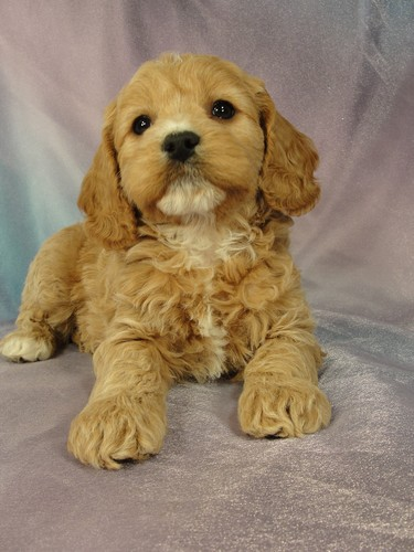 I'm going to Massachusetts-Female Cockapoo Puppy for sale #12 Born December 25, 2011