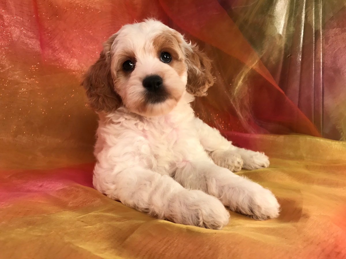 Female cockapoo Pup, apricot and White