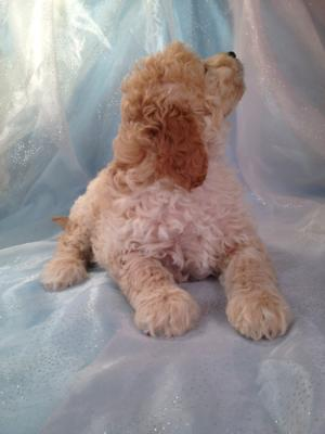 Professionally Bred Golden and Cream Miniature Goldendoodle Puppy for Sale DOB 9-25-2015 2