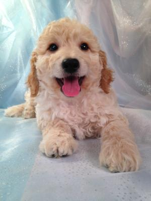 Professionally Bred Golden and Cream Miniature Goldendoodle Puppy for Sale DOB 9-25-2015 3