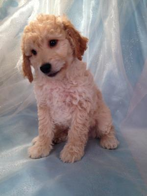 Professionally Bred Golden and Cream Miniature Goldendoodle Puppy for Sale DOB 9-25-2015 5