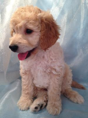 Professionally Bred Golden and Cream Miniature Goldendoodle Puppy for Sale DOB 9-25-2015 6