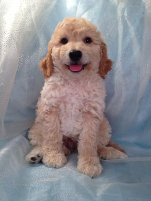 Professionally Bred Golden and Cream Miniature Goldendoodle Puppy for Sale DOB 9-25-2015