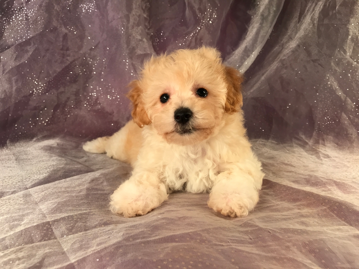 Ready Now! Bichon Poo puppies for sale! 3