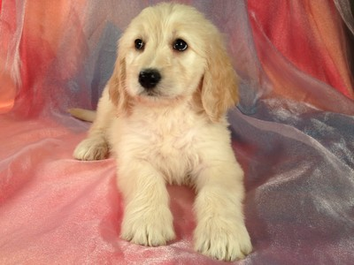 Iowa Golden Doodle Puppies for Sale- Private Breeder -Shipping 150