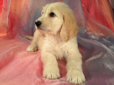Ready On September 17, 2012-Golden Doodle Puppies for sale