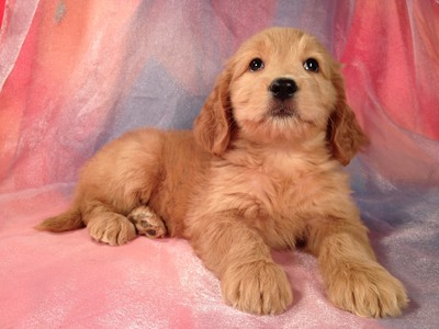 Female Goldendoodle Born July 23, 2012 Ready September 19, 2012