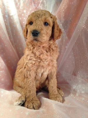Light, Medium, and Dark Red Labradoodle Puppies for Sale In North Iowa.