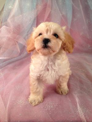 Female Lhasa Bichon Puppy for sale #1 Born 7-20-13 | Shipping by air only $150 to Big airports like Boston, Providence, DC, and many others
