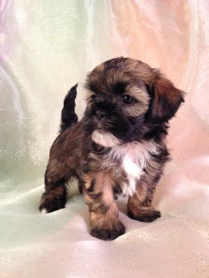 Female Lhasa Bichon Puppy #9 DOB 10-20-14 The puppies for sale will be ready by Christmas!
