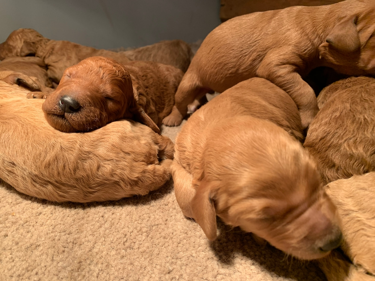 Breeders In Iowa Have New F1b Labradoodle Litter