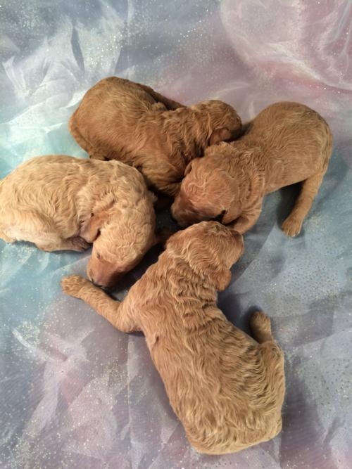 Poodle Breeders Near Minnesota, Wisconsin, and Illinois