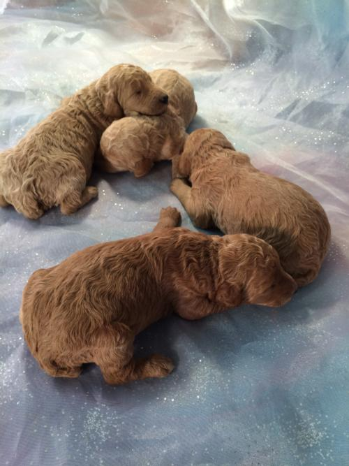 Poodle Breeders Near Minnesota Wisconsin And Illinois