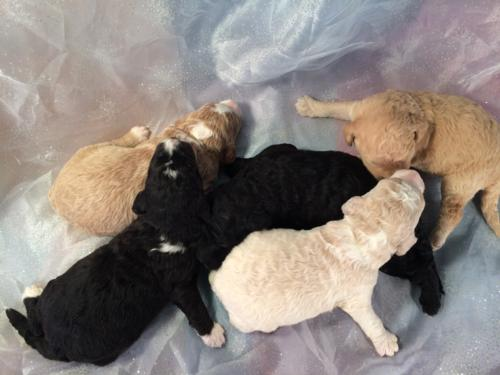 Professionally Bred Miniature Goldendoodle Litter Born Feb. 23rd 2016