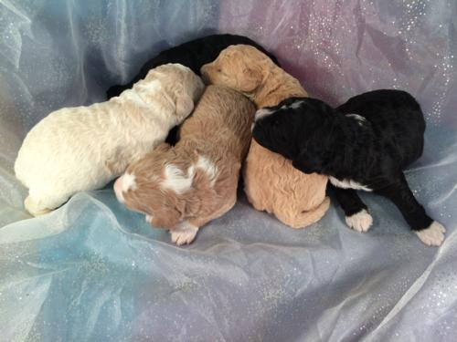Parti colored Puppies for Sale