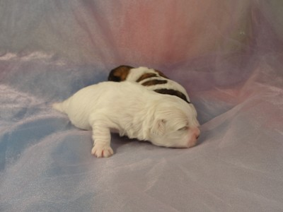 Female Shih tzu Bichon puppies for sale 3
