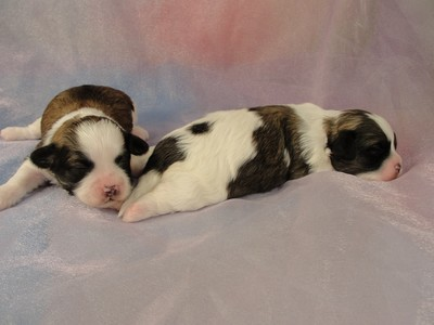 2 Male Shih tzu Bichon Puppies for sale in Iowa 2012 4