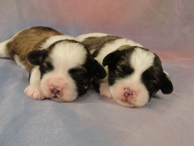 2 Male Shih tzu Bichon Puppies for sale in Iowa 2012 5