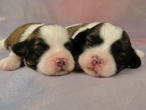 2 Male Shih tzu Bichon Puppies for sale in Iowa 2012
