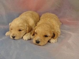 Two Female Cockapoo Puppies for sale/Iowa Breeder 2012/Born May 2