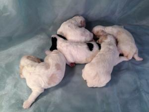 Cockapoo Puppies Born 10-20-14 For Sale $675 2