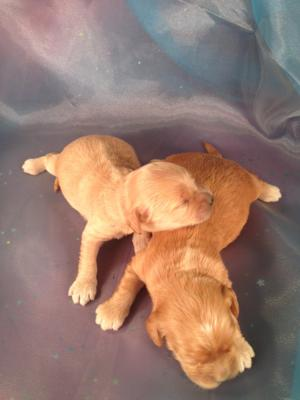 Two Female, Four Male Cockapoo puppies for sale|Iowa Breeder with Cockapoos ready soon!