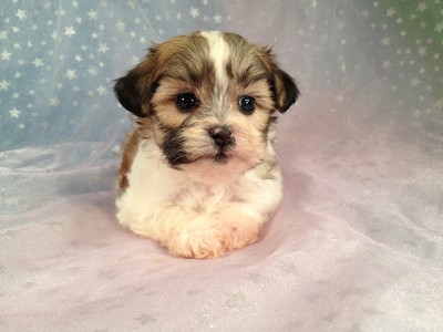 Four, Female, Sable and White Shih Tzu Bichon Puppies for Sale|Iowa August 2012