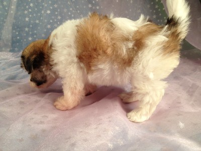 Four, Female, Sable and White Shih Tzu Bichon Puppies for Sale|Iowa August 2012 5