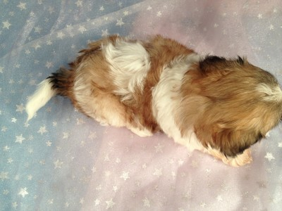 Four, Female, Sable and White Shih Tzu Bichon Puppies for Sale|Iowa August 2012 6
