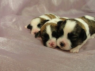 Four, Female, Sable and White Shih Tzu Bichon Puppies for Sale|Iowa August 2012 3