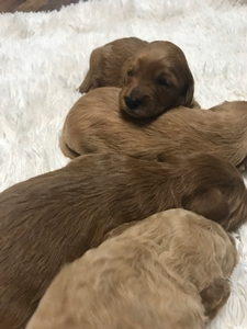Red Mini Goldendoodles for sale