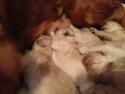 Goldendoodle puppies Born December 23, 2013 Ready Feb. 2014| Red Puppies for sale $750|Marly's Goldendoodles